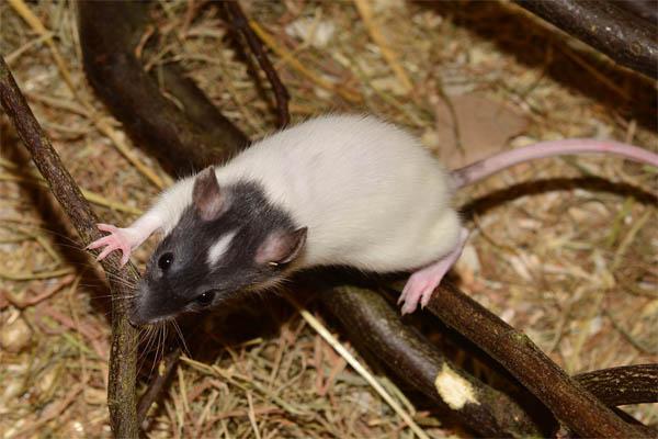 des méthodes pour se débarasser des rats - servicenettoyage.fr